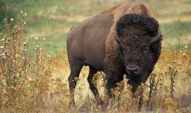 bison-640